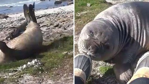 VIDEO: Elephant Seal Shows Everyone The Fastest Way Down A Hill