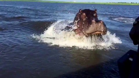 VIDEO: Hippo Charge Proves They're Anything But Slow