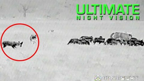 Watch A Farmer Drop 107 Hogs With Thermal Night Vision