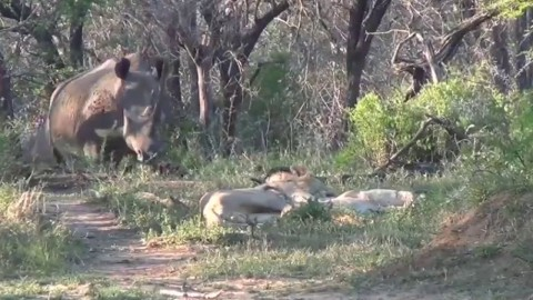 Watch Sleeping Lions Turn Into 'Scaredy Cats' After Rhinos Sneak Up On Them