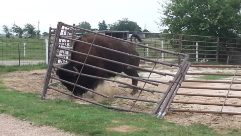 VIDEO: Bison Shows That It'll Take A Lot More Than A Fence To Keep Him Contained