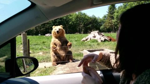 Watch Waving Bear Greet Drivers Before Making An Epic Catch