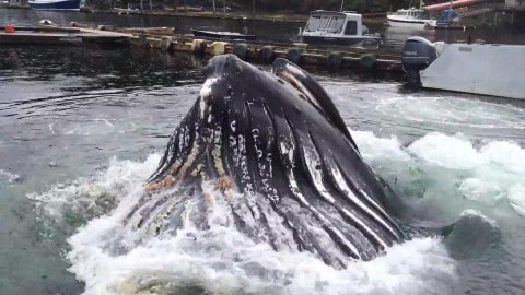 Watch Massive Humpback Whale Breach Just Feet Away From Docked Boats