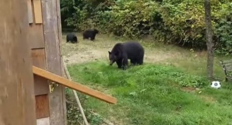 VIDEO: Guy Politely Asks Black Bears To Leave His Yard And They Listen!