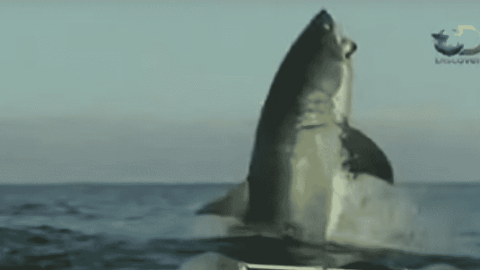 VIDEO: Insanely Massive Great White Shark Breaches Surface, Leaves News Anchor Speechless