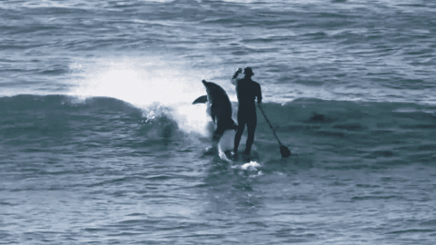 Watch Dolphin Leap Out Of the Water To Tackle A Paddle Boarder