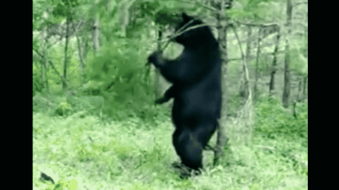 VIDEO: Itchy Black Bear Just Wants To Scratch Its Back On A Tree