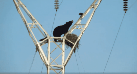 VIDEO: Black Bear Climbs Up Power Lines To Get Some Eggs