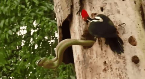 VIDEO: Woodpecker Takes On Snake That Was Eating Its Eggs