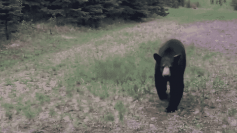 Bear Stalker: Black Bear Won't Stop Following Joggers Because It Can't Take A Hint