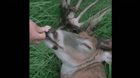 VIDEO: Super Chill Buck Kicks Back And Gets Fed Animal Crackers