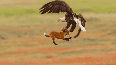 VIDEO: Bald Eagle Snatches Rabbit Right Out Of Foxes Mouth, But The Fox Just Doesn't Let Go