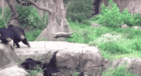 VIDEO: Chimp Throws Raccoon Like It's A Frisbee
