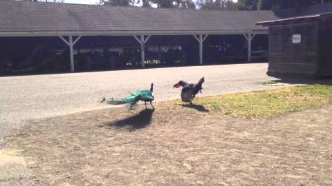 Watch Peacock Fight A Turkey To Prove Which Is The Tougher Bird