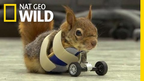 VIDEO: Prosthetic Wheels Give Injured Squirrel A Second Chance