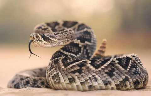 Man Bitten By Rattlesnake After It Falls Out Of Tree And Into His Kayak