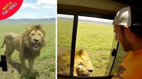 VIDEO: Tourist Pulls Incredibly Dumb Move And Pets Lion Outside Of Their Safari Van