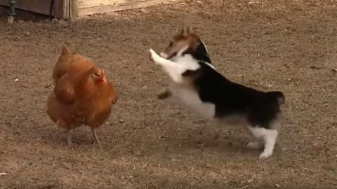 VIDEO: Corgi Won't Stop Practicing Its Karate On This Chicken