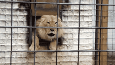 No Solicitors: Lion Hates When People Show Up Outside His House