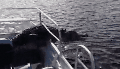 VIDEO: Gator Uses Tour Boat As A Short Cut As Tourists Freak Out