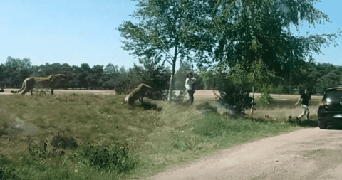 VIDEO: Coalition Of Cheetahs Nearly Attacks Family At Safari Park