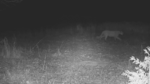Mountain Lion Spotted As It Roams Hundreds Of Miles Looking For Territory