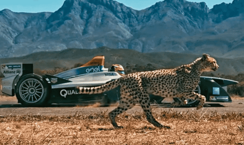 VIDEO: Cheetah And Formula E Car Go Head-To-Head In Epic Race