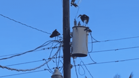 VIDEO: Bird Gets Electrocuted And Falls Off Power Line; Miraculously Survives And Flies Off