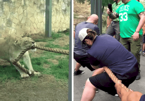 Watch Lion Cub Absolutely Own Team Of WWE Wrestlers In Tug-Of-War