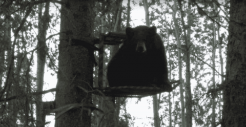 Hunter Walks Up To His Tree Stand And Finds A Bear Sitting In It