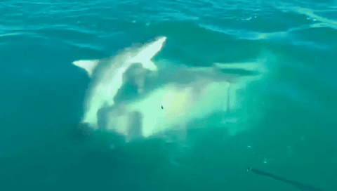 Watch A Massive Shark Swim Up And Bite The Tail Off A Smaller Shark Anglers Were Reeling In