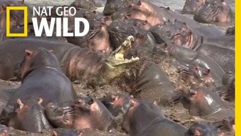 """VIDEO: Crocodile Wanders Into """"Hippo Pool"""" And Has A Really Bad Time"""