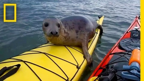 Seal Swims Up To Kayakers To Catch A Ride