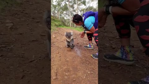 Thirsty Koala Hits Up Runners For A Drink