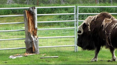Video: Angry Musk Ox Really Hates This Post