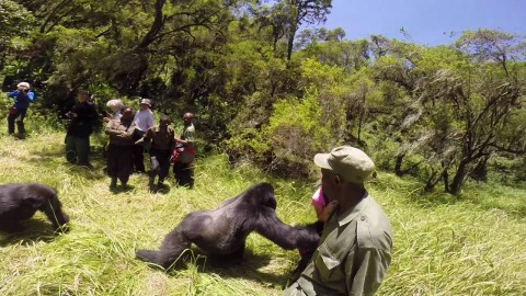VIDEO: Gorilla Attacks Honeymooners, Pushes Woman To The Ground