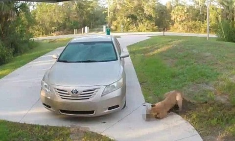 Panther Brutally Attacks Cat In Driveway