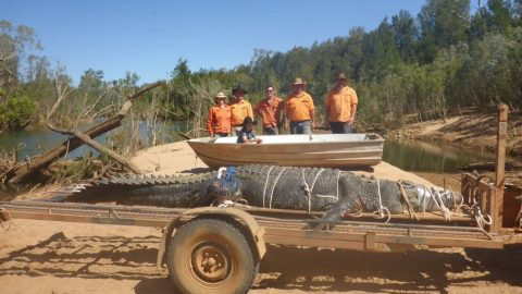 Eight-Year Hunt Leads To Capture Of 1,300-Pound Crocodile