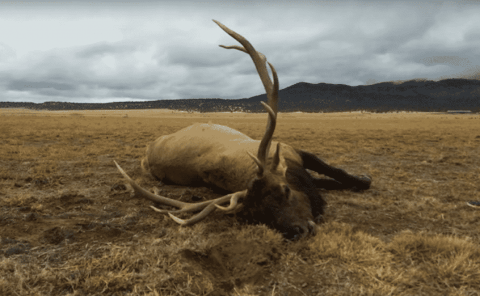 VIDEO: Bull Elk Trips Over Fence, Sticks Its Antlers In The Ground And Dies