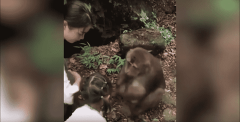 VIDEO: Monkey Punches Little Girl In The Face, Sending Her Down Some Steps