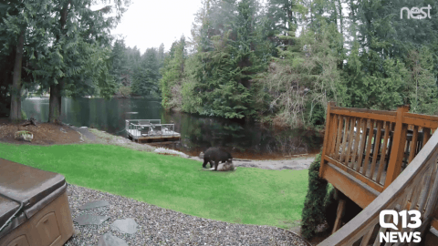 VIDEO: Bear Drags Deer Across Backyard For A Snack