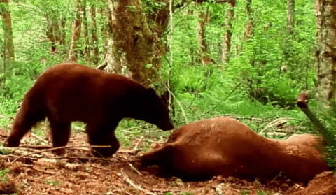 VIDEO: Nature Doesn't Waste Anything And This Bear Kill Footage Proves It