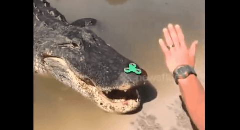 VIDEO: Alligator Can't Get Enough Of This Fidget Spinner