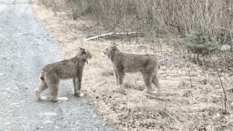 Pair Of Lynx Have A Bizarre, Unsettling Screaming Match For The Ages