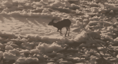 VIDEO: Deer Gets Stuck On Block Of Ice And Surfs It Down The River