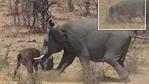 VIDEO: Elephant Stabs Cape Buffalo During Brutal Altercation