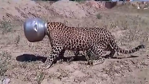 Thirsty Leopard Ends Up With Its Head Stuck In A Metal Bowl