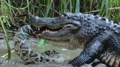 VIDEO: Alligator Chomps Down And Swallows A Rattlesnake Whole