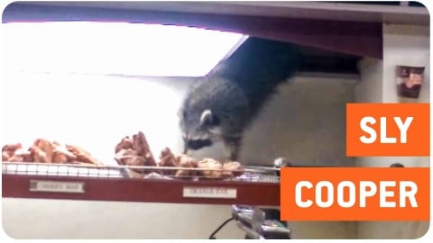 Cheat Day: Raccoon Steals A Donut From A Coffee Shop