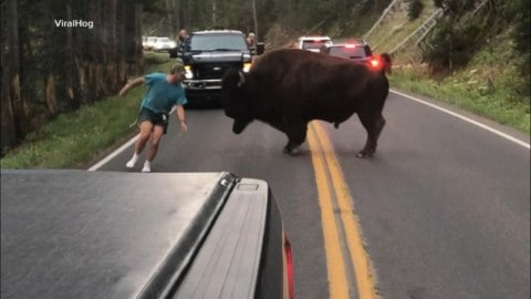 VIRAL VIDEO: Guy Taunts Bison Because He's An Idiot; Gets Arrested